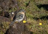 Bofink - Common Chaffinch (Fringilla coelebs moreletti)
