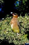 Cedarwax wing in the oaks