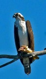 Osprey is 7 in oroville first one this year.jpg