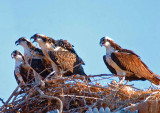 3 BABY OSPREYS AND MOTHERYELLING AT MALE WITH A FISH.jpg