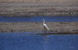 Australian Eastern Great Egret