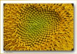 sunflower with a heart of gold