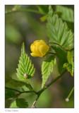 Kerria (Kerria japonica)