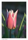 tulip in the evening sun