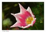 tulip   disclosure
