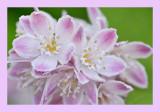 Deutzia hybrida Strawberry Fields - Bruidsbloem