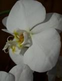 Maya's Orchid