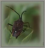 Bug on a hakea leaf
