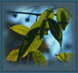 Renae rose leaves