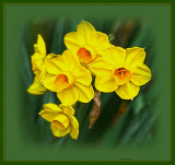More of the Jonquils