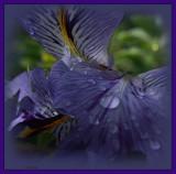 Winter iris in mid-winter