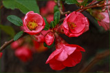 Flowering Quince, up close