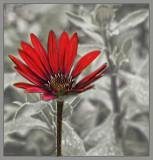 Osteospermum selective red