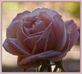 Fresh new Spring rose