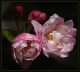 First Spring crab apple blossoms