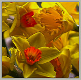 Daffodil variety