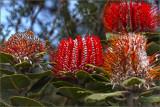 Spring Wildflowers of SW Western Australia 2013