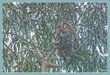 Koala's lunchtime