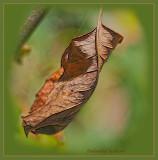 Shrivelled leaf of a rose bush