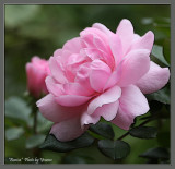 A favourite rose