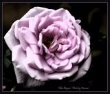 A blue rose?
