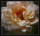 The rose called Dove