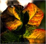 Rose leaves - Leda