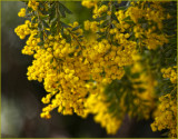 The last Acacia for 2014