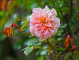 Early rose