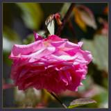 Lovely old tea rose