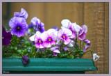 A tub of violas