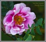 A little Scots Rose