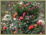 Pigalle in the garden