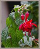 Fuchsia x 2