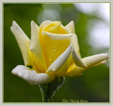 Sunlight & roses