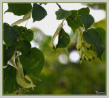 Linden tree details