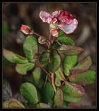 Spent rose