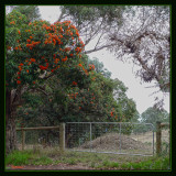 Neighbour's trees in bloom