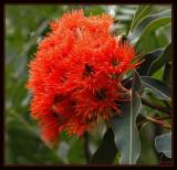 Eucalyptus ficifolia in bloom