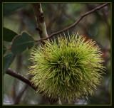 Green Eucalyptus Tree Flower