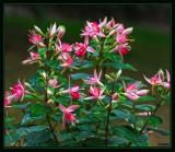 Fuchsia in a pot