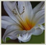 White Belladonna Lily