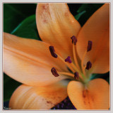 Lily from a bouquet