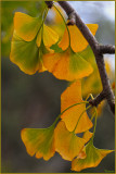 Angled branch of Ginkgo