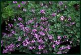 Pelargonium rodneyanum