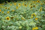 Dr. Wolff's Sunflowers-0035_4x6.JPG