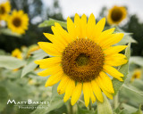 Dr. Wolff's Sunflowers-0044_8x10.JPG