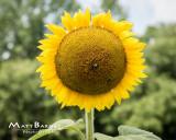 Dr. Wolff's Sunflowers-0045_8x10.JPG