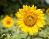 Dr. Wolff's Sunflowers-0054_8x10.JPG