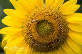 Dr. Wolff's Sunflowers-0064_4x6.JPG